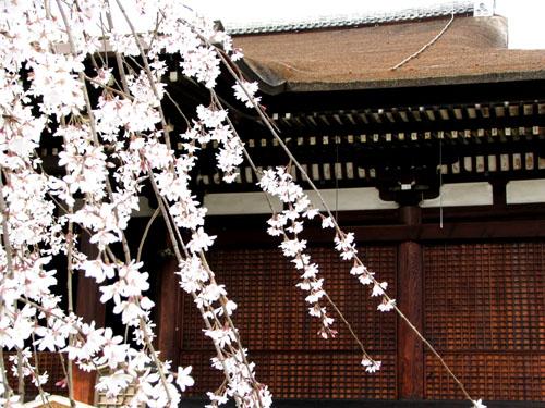 千本釈迦堂 おかめ桜_e0048413_22493990.jpg