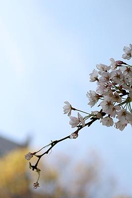 桜_c0001023_0485641.jpg