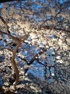 夜桜_d0053335_1721028.jpg