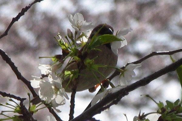 目黒川の桜、4月3日_d0027243_6474464.jpg