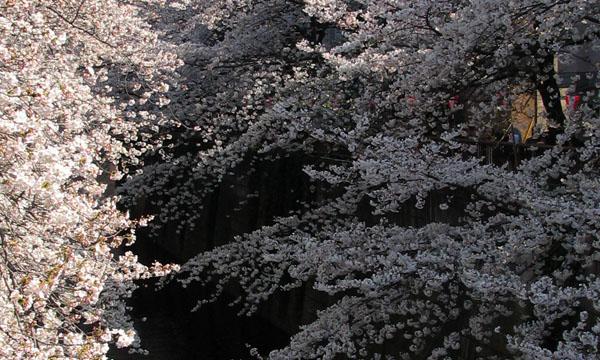 目黒川の桜、4月3日_d0027243_648231.jpg