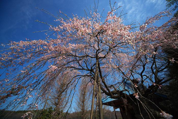 入学式は桜満開になりそうです_a0003746_16203888.jpg