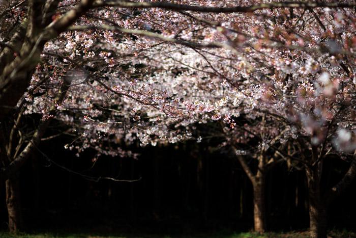 入学式は桜満開になりそうです_a0003746_16204749.jpg