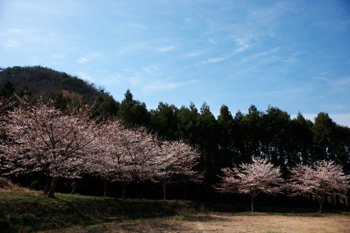 入学式は桜満開になりそうです_a0003746_1620567.jpg