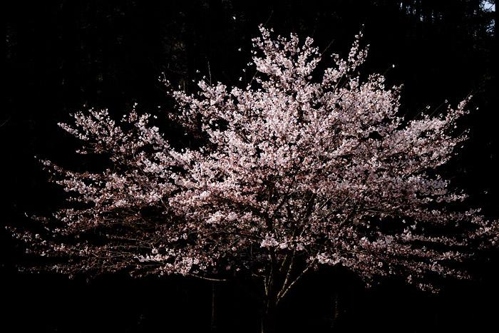 入学式は桜満開になりそうです_a0003746_16211360.jpg