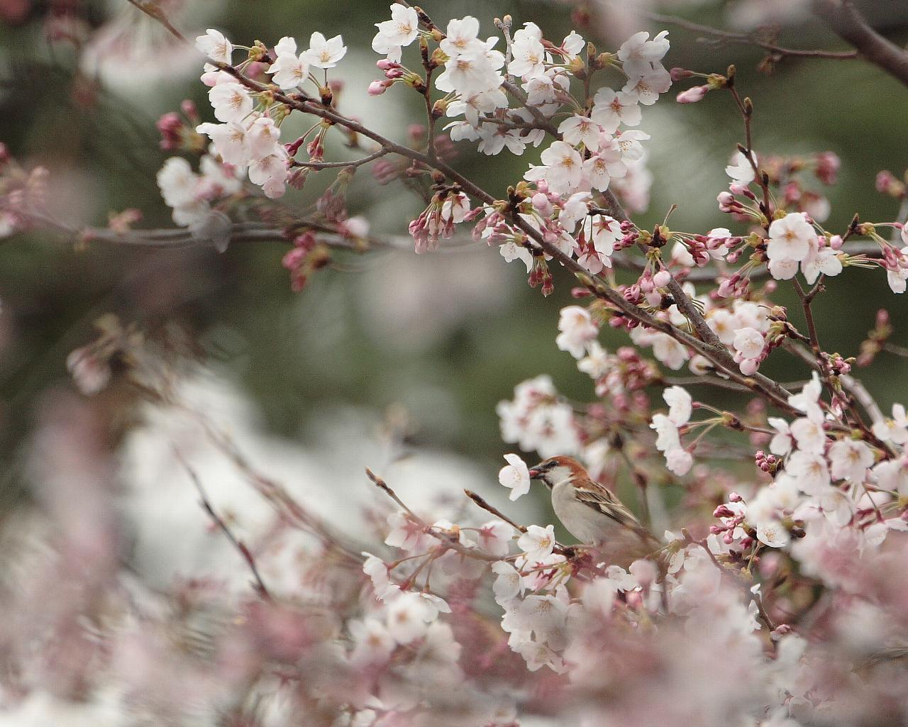 桜を咥えるニュウナイスズメ_f0105570_2135011.jpg