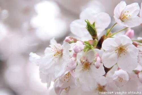 sakura_f0039406_13422836.jpg