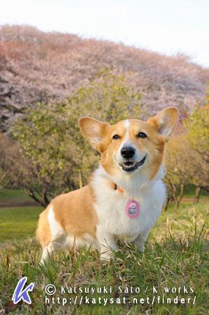 桜のロケハンに_d0102523_0315570.jpg