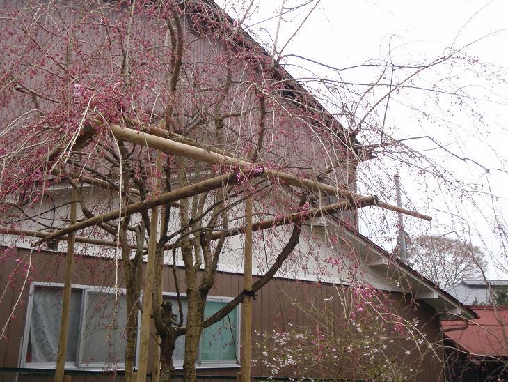 当館前の「紅しだれ桜」咲き始めてきました!!_e0154524_11594035.jpg
