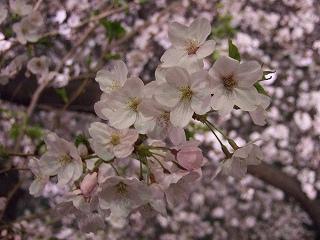 桜 桜 桜@千鳥ヶ淵_d0113725_15545330.jpg