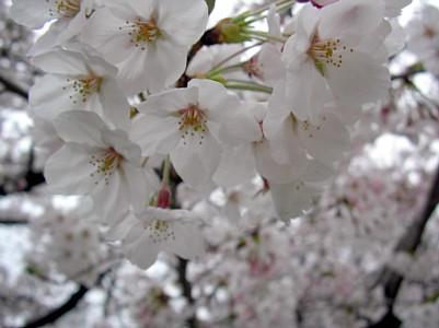 雨のお花見_c0038434_044174.jpg