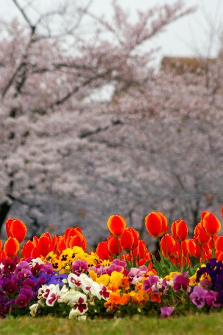 桜 2009_d0145934_16322231.jpg