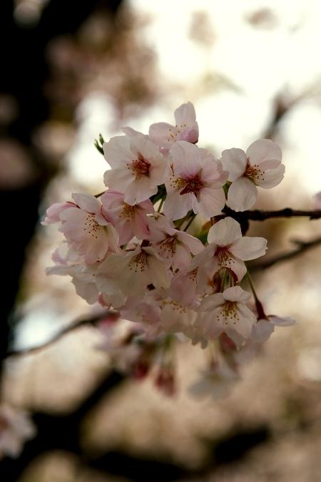 桜 2009_d0145934_16324855.jpg