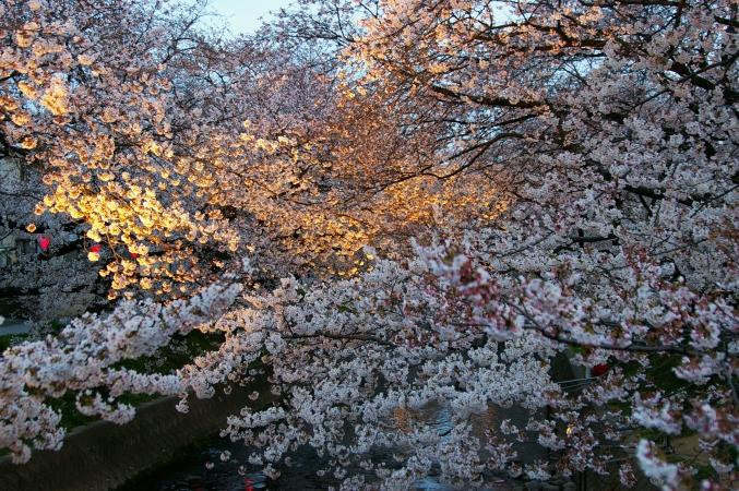桜 2009_d0145934_1633548.jpg