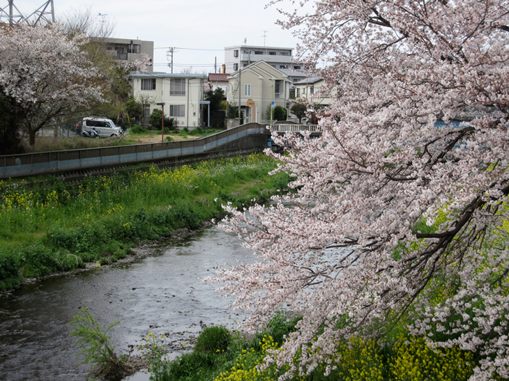 成城のサクラ百景_d0038951_1911499.jpg
