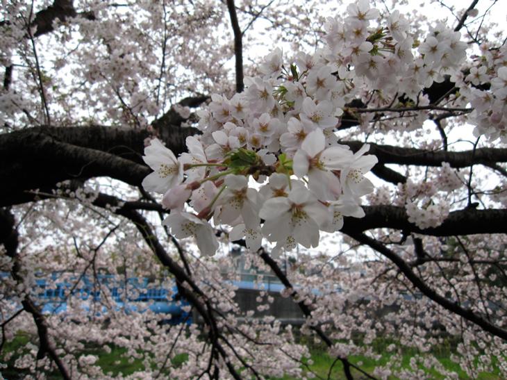 成城のサクラ百景_d0038951_1982950.jpg