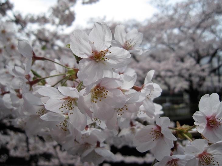 成城のサクラ百景_d0038951_1991551.jpg
