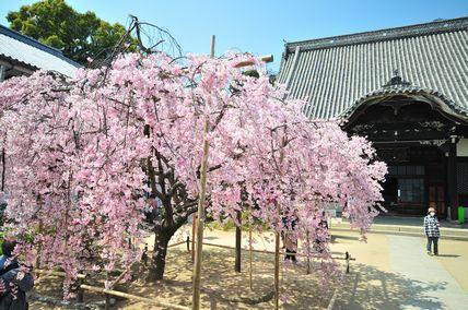 天寧寺の枝垂桜_b0139766_23324329.jpg