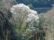 ご近所の櫻 (1)  ~とぼけ桜~_b0102572_17114426.jpg