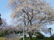 ご近所の櫻 (1)  ~とぼけ桜~_b0102572_1721587.jpg