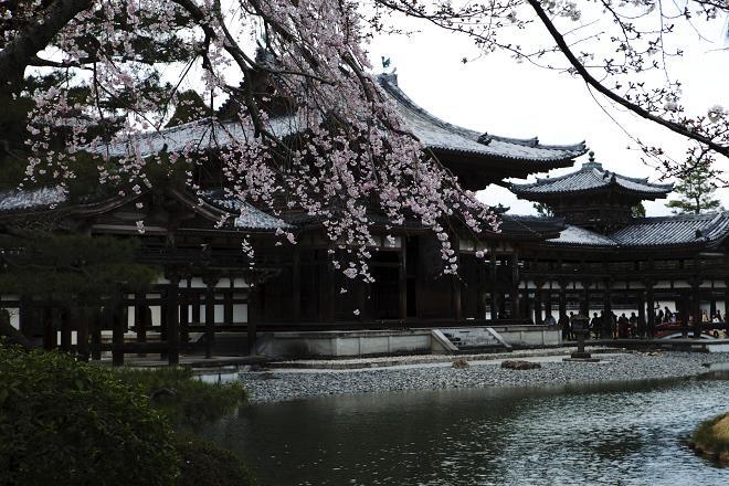 桜-平等院_e0133774_19115557.jpg