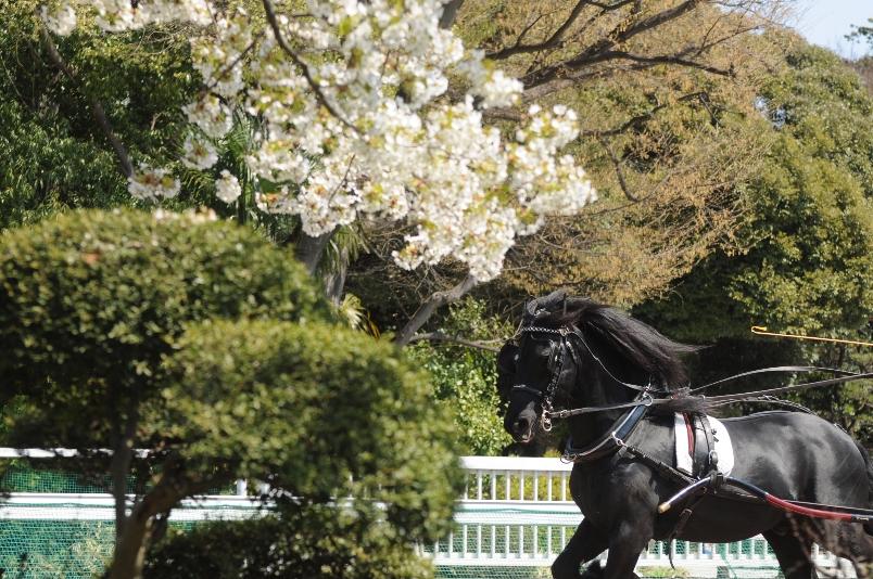 大島桜と馬車@馬事公苑_d0056382_2115387.jpg