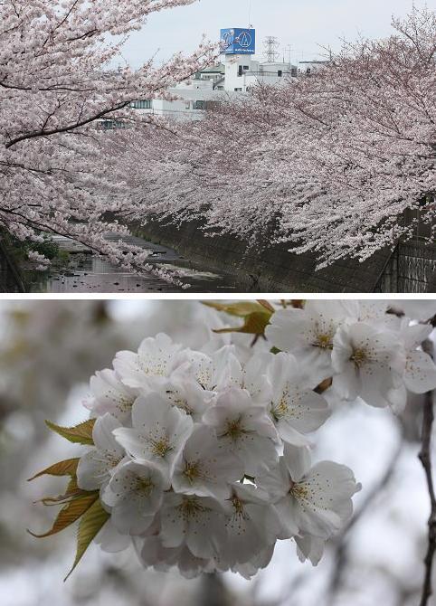 桜 さくら ・・・_f0191986_20214256.jpg