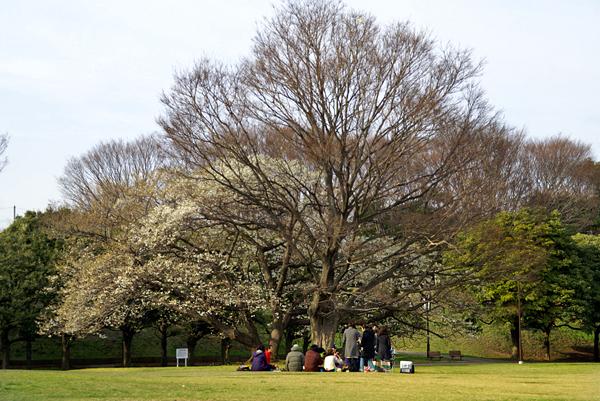 横浜桜_d0028499_23305014.jpg