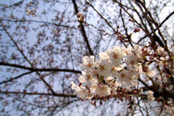 横浜桜_d0028499_2336294.jpg