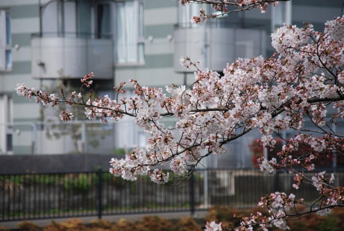野川さくらの画像 p1_32