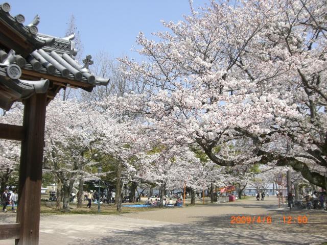 膳所城跡公園の桜_e0150006_1349999.jpg