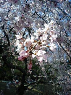 春・桜満開o(^▽^)o_f0188115_2349623.jpg