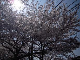 桜日和_f0190816_013298.jpg