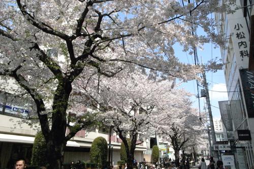 桜 開花状況Ⅱ -東京 自由が丘 南口- _e0139422_18102193.jpg