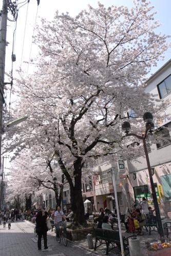 桜 開花状況Ⅱ -東京 自由が丘 南口- _e0139422_18103648.jpg