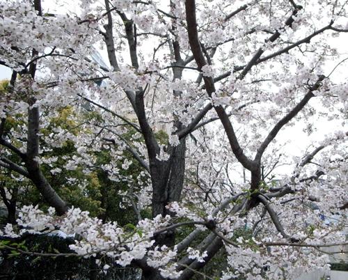 桜 開花状況Ⅱ -東京 自由が丘 南口- _e0139422_1810447.jpg
