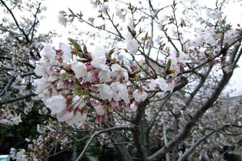 桜 開花状況Ⅱ -東京 自由が丘 南口- _e0139422_1895998.jpg