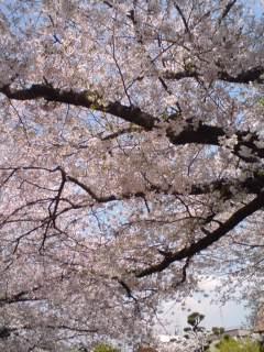 桜_f0076322_14473547.jpg