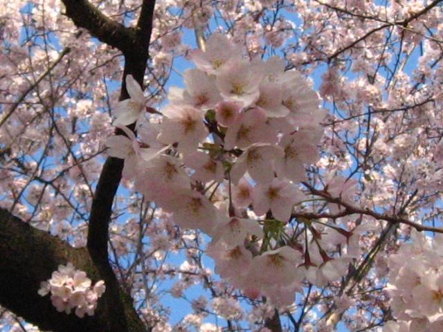 また 桜_b0097747_14201869.jpg