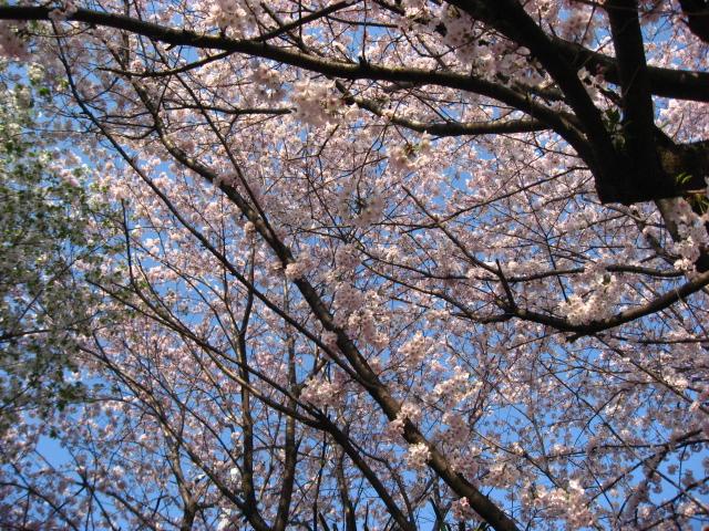 また 桜_b0097747_1420763.jpg