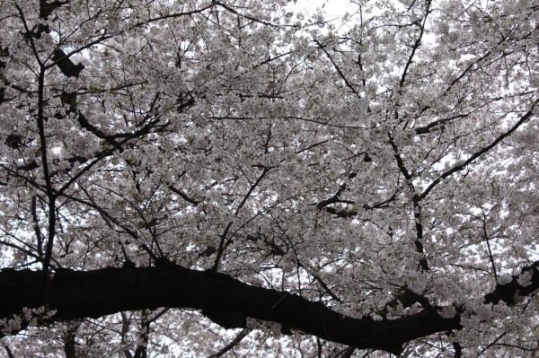吉祥寺の桜_c0118352_1502688.jpg