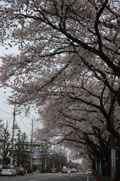 吉祥寺の桜_c0118352_1512041.jpg