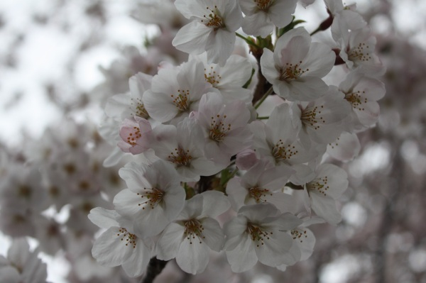 吉祥寺の桜_c0118352_1515880.jpg