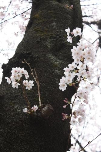 吉祥寺の桜_c0118352_210685.jpg