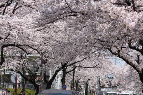 吉祥寺の桜_c0118352_21235655.jpg