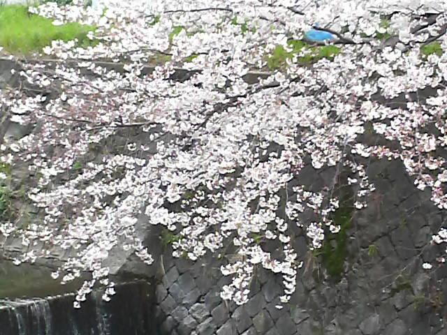 桜満開_c0185356_164911100.jpg