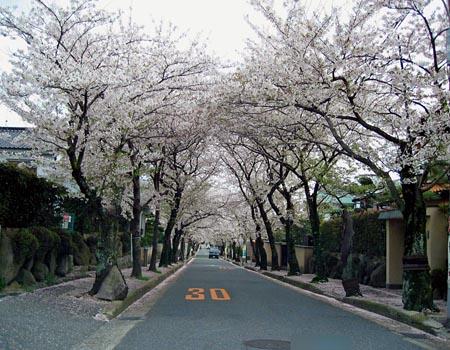 箕面の桜                         No.556_d0103457_0161092.jpg