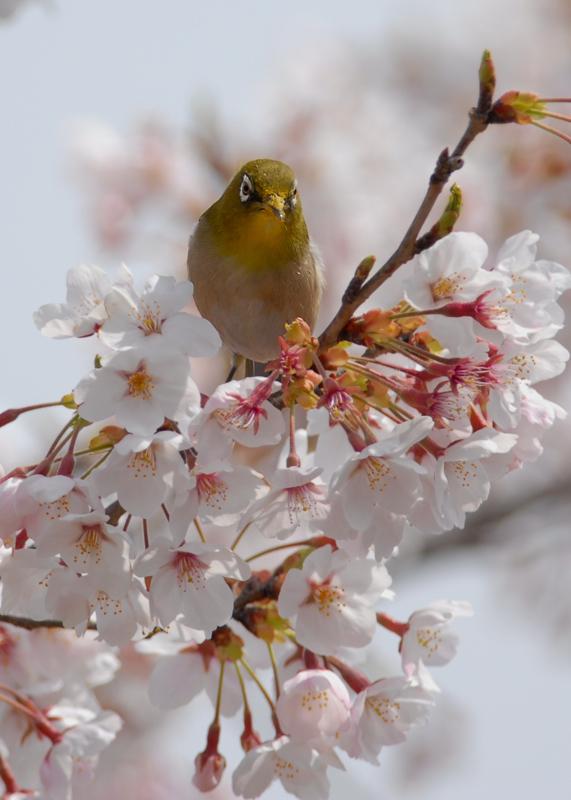 桜と、メジロ&ヒヨドリ・・・_f0053272_1721247.jpg