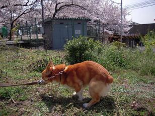桜日和_f0190816_042974.jpg