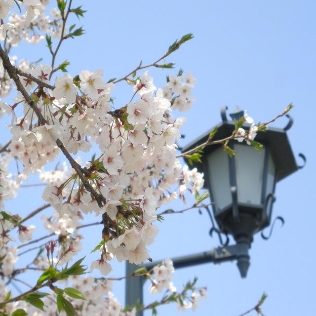 桜_a0115017_12445047.jpg